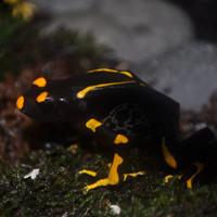 Alanis Dart Frogs For Sale