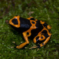 Bumblebee Dart Frogs For Sale
