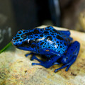 Blue Azureus Dart Frogs For Sale  - Dendrobates azureus