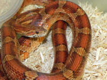 Cornsnakes for sale