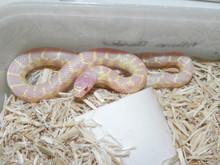 Albino Desert Kingsnakes forsale