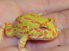 Albino Pacman Frogs for sale