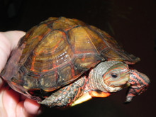 Central American Wood Turtles for sale