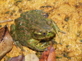 Chilean Big Mouth Frogs for sale