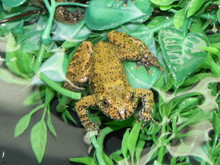 Firebelly Toads for sale