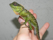 Male Mountain Horn Lizard For Sale