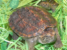 Common Snapping Turtle for sale