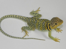 Eastern Collard Lizards for sale