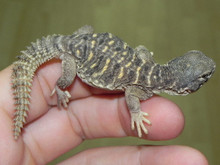 Baby Egyptian Uromastyx for sale