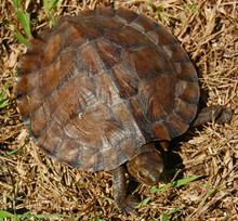 Asian Leaf Turtle for sale