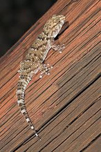 Bibron Geckos for sale