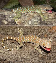 Tokay Geckos for sale