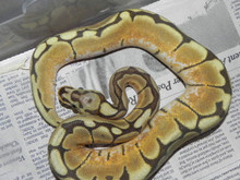 Honey Bee Ball Pythons for sale