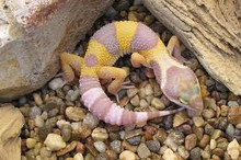 Albino Bell Leopard Gecko for sale juveniles
