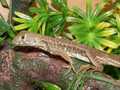 Butterfly Agama for sale