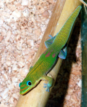 Gold Dust Day Gecko for sale