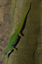 Peacock Day Gecko for sale
