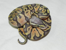 Pastel Orange Ghost Ball Python for sale