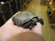 Black Mountain Tortoises for sale