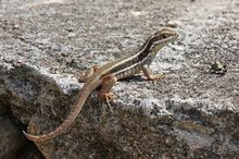 Side Blotch Lizard for sale