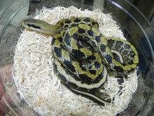 Taiwan Beauty Snake for sale