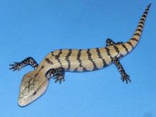 Irian Jayan Blue Tongue Skinks for sale