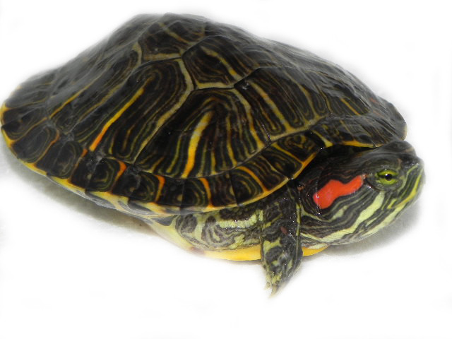Red Eared Slider Turtle For Sale Pictures to pin on Pinterest