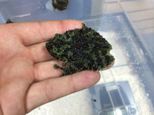 Vietnamese Mossy Frogs for sale