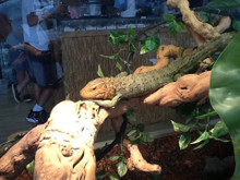 Adult Caiman Lizard on display at our shop