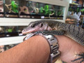 Juvenile Peach Throat Monitor for sale