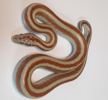 Rosy Boas for sale