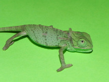 Baby Veiled Chameleons for sale