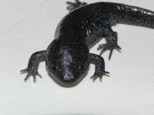 Mole Salamanders for sale