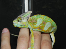 Sub Adult Veiled Chameleons for sale