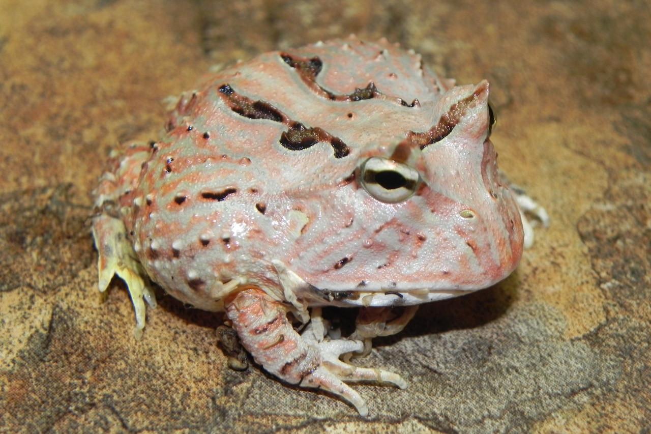 Fantasy pacman frog - photo#14