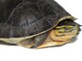 Asian Box Turtles for sale (Coura amboinensis)