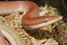 Burton's Legless Lizards for sale