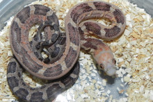 Scaleless Everglades Rat Snake for sale