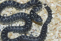 Speckled King Snake for sale