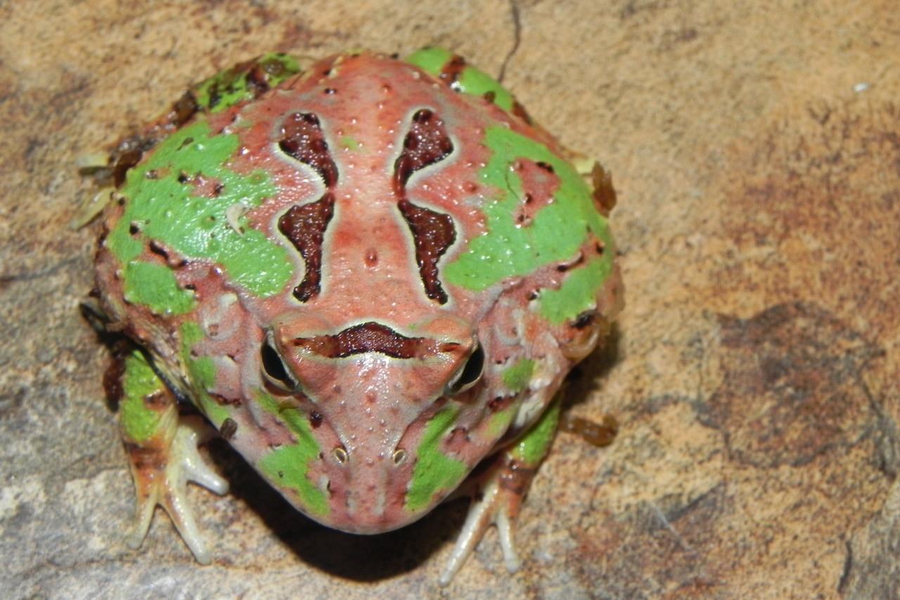 Fantasy pacman frog - photo#27