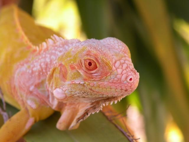 Albino Green Iguana For Sale Albino Green Iguana For Sale