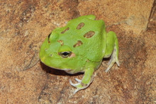 Green Apple Pac Man Frogs for sale