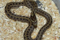 Twin Spot Rat Snake for sale