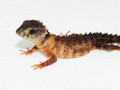 Baby Eye Crocodile Skink for sale (Tribolonotus gracilis)
