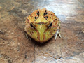 Yellow Fantasy Pac Man Frog for sale (Ceratophrys cranwelli)