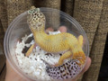 Adult Fancy Leopard Geckos for sale ( Eublepharis macularius)