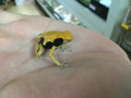 Matecho Dart Frogs for sale (Dendrobates tinctorius)