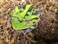 Suriname Horn Frogs for sale green