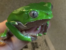Bicolor Monkey Tree Frog for sale