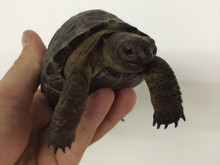 Aldabra Tortoises for sale